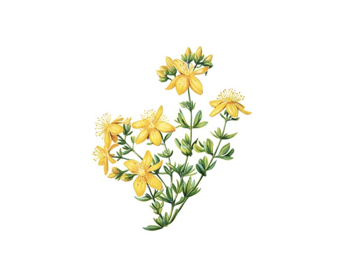 Johanniskraut (Hypericum Perforatum) (Bio)