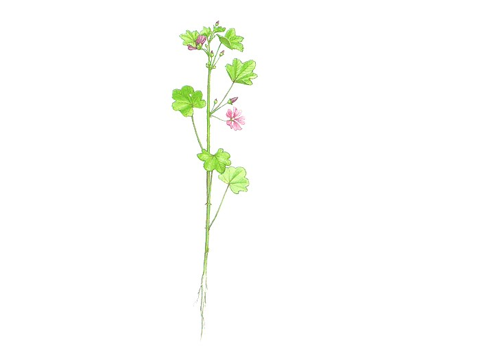 Hibiskus (Hibiscus sabdariffa) (Bio)