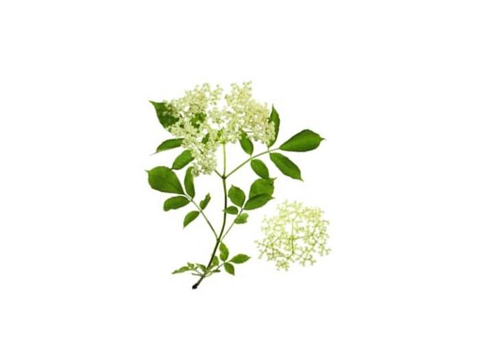 Holunderblüten (Sambucus nigra) (Bio)