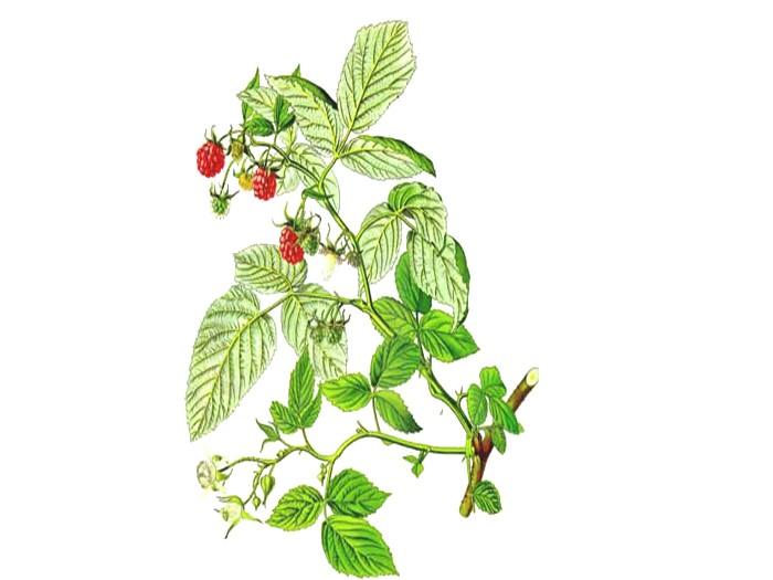 Himbeerblätter (Rubus idaeus) (Bio)