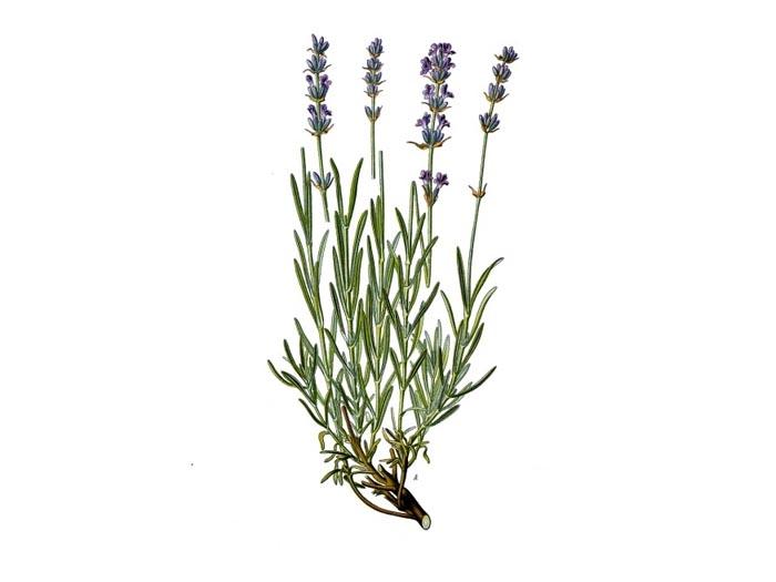 Lavendel (Lavandula officinalis) (Bio)