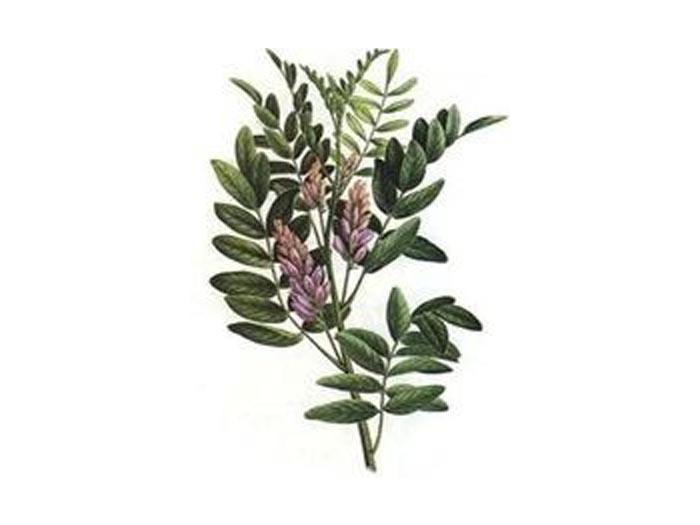 Süßholzwurzel (Liquiritiae radix) (Bio)