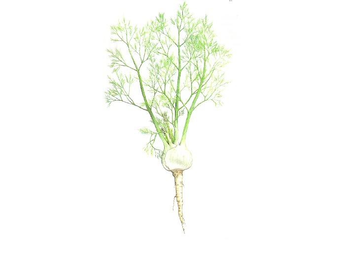 Fenchel (Foeniculum vulgare) (Bio)
